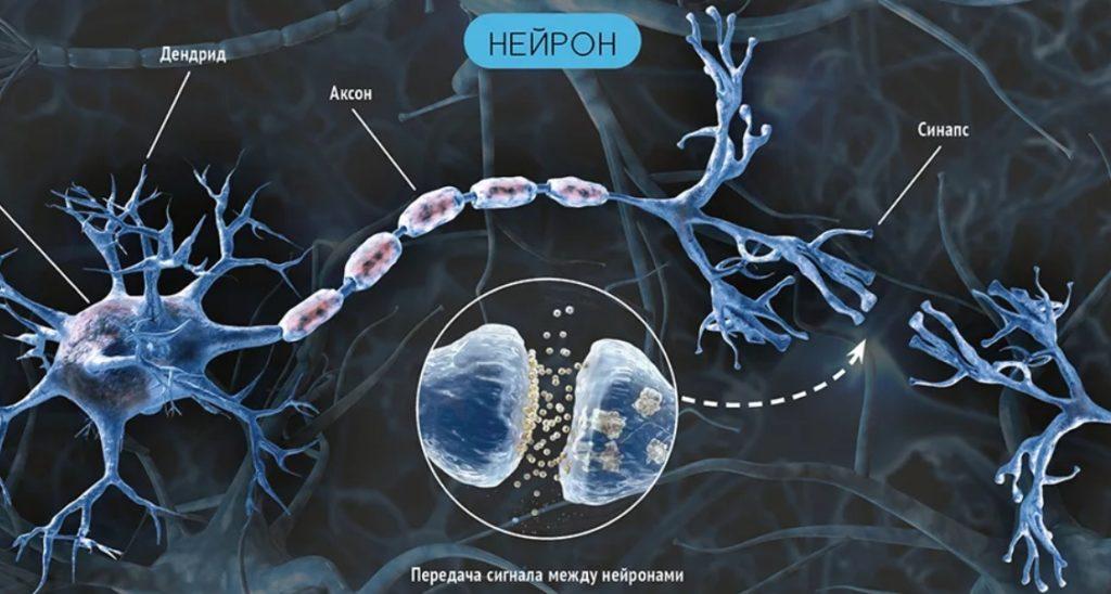 Синапс. Передача нервного импульса между нейронами